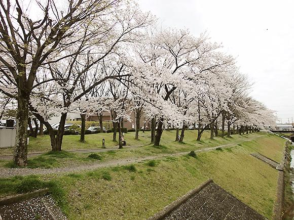 春日井市の桜の名所情報 春日井ふれあい緑道